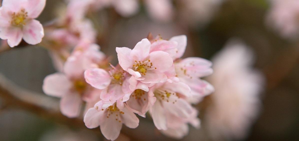 桜まつり2018【予約開始】~春の香りに包まれて、旬の会席と季節を愉しむ~